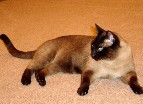 Coco Chocolate champagne Burmese cat